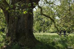 2nd platane de Mottisfont Abbaye, Angleterre Yannick Morhan