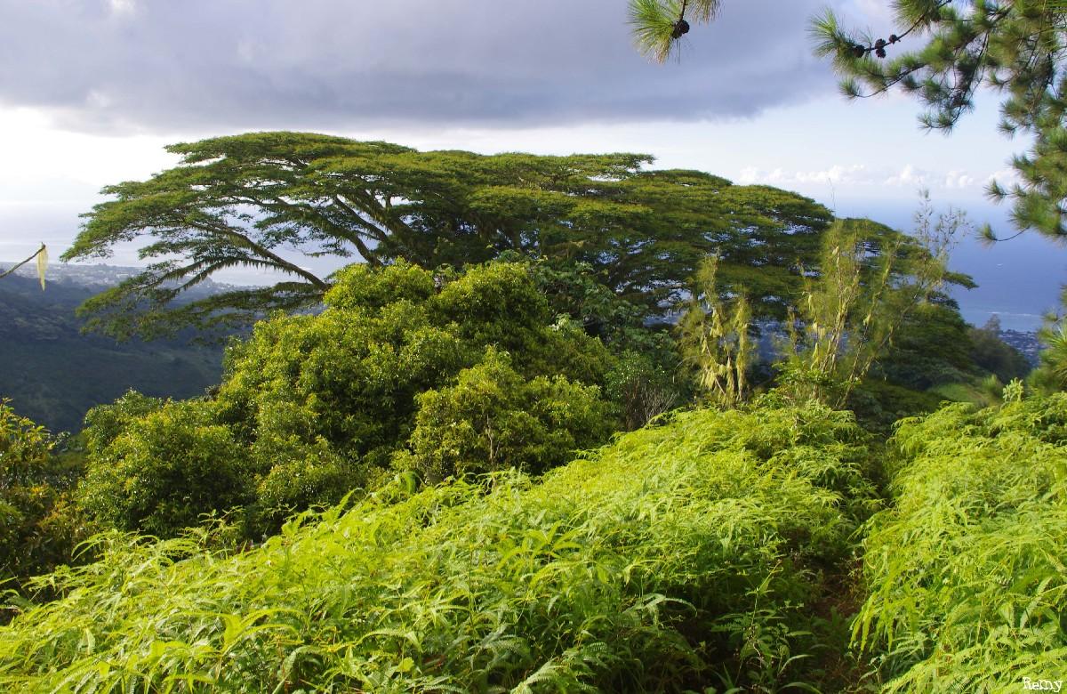 Albizias falcataria du pied de l'Aoraï, Tahiti, Rémy Canavesio (10)