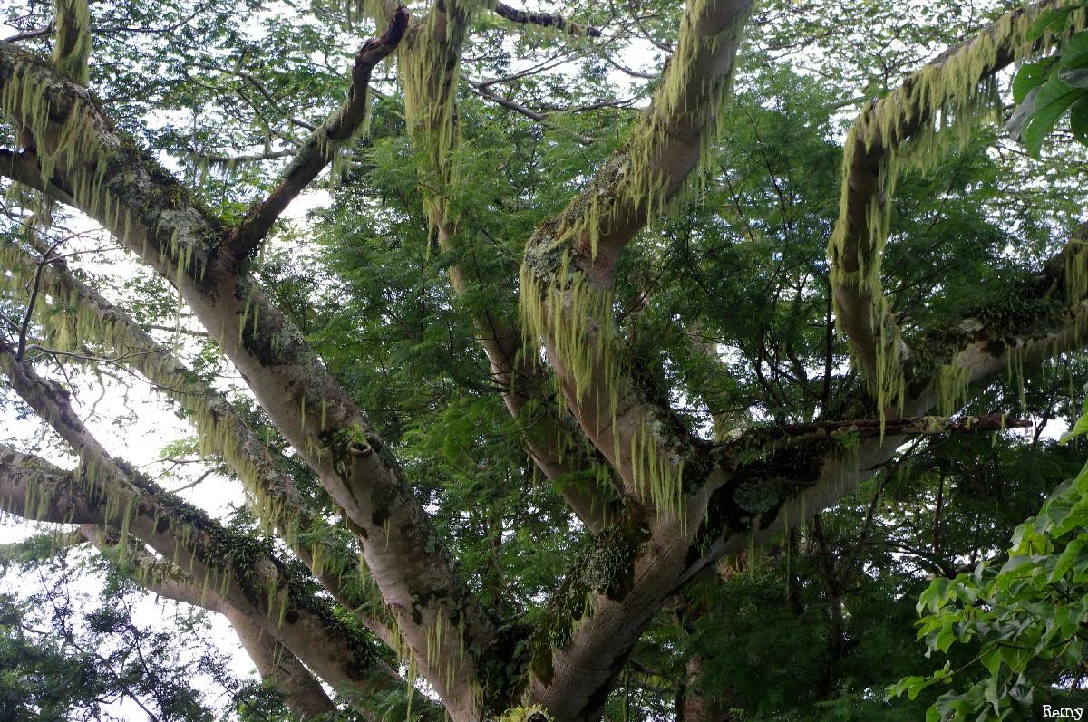 Albizias falcataria du pied de l'Aoraï, Tahiti, Rémy Canavesio (11)