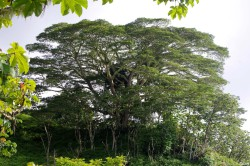 Albizias falcataria du pied de l'Aoraï, Tahiti, Rémy Canavesio (2)