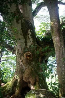 Albizias falcataria du pied de l'Aoraï, Tahiti, Rémy Canavesio (3)
