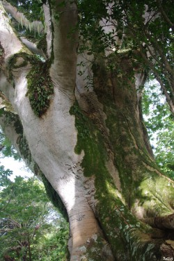 Albizias falcataria du pied de l'Aoraï, Tahiti, Rémy Canavesio (4)