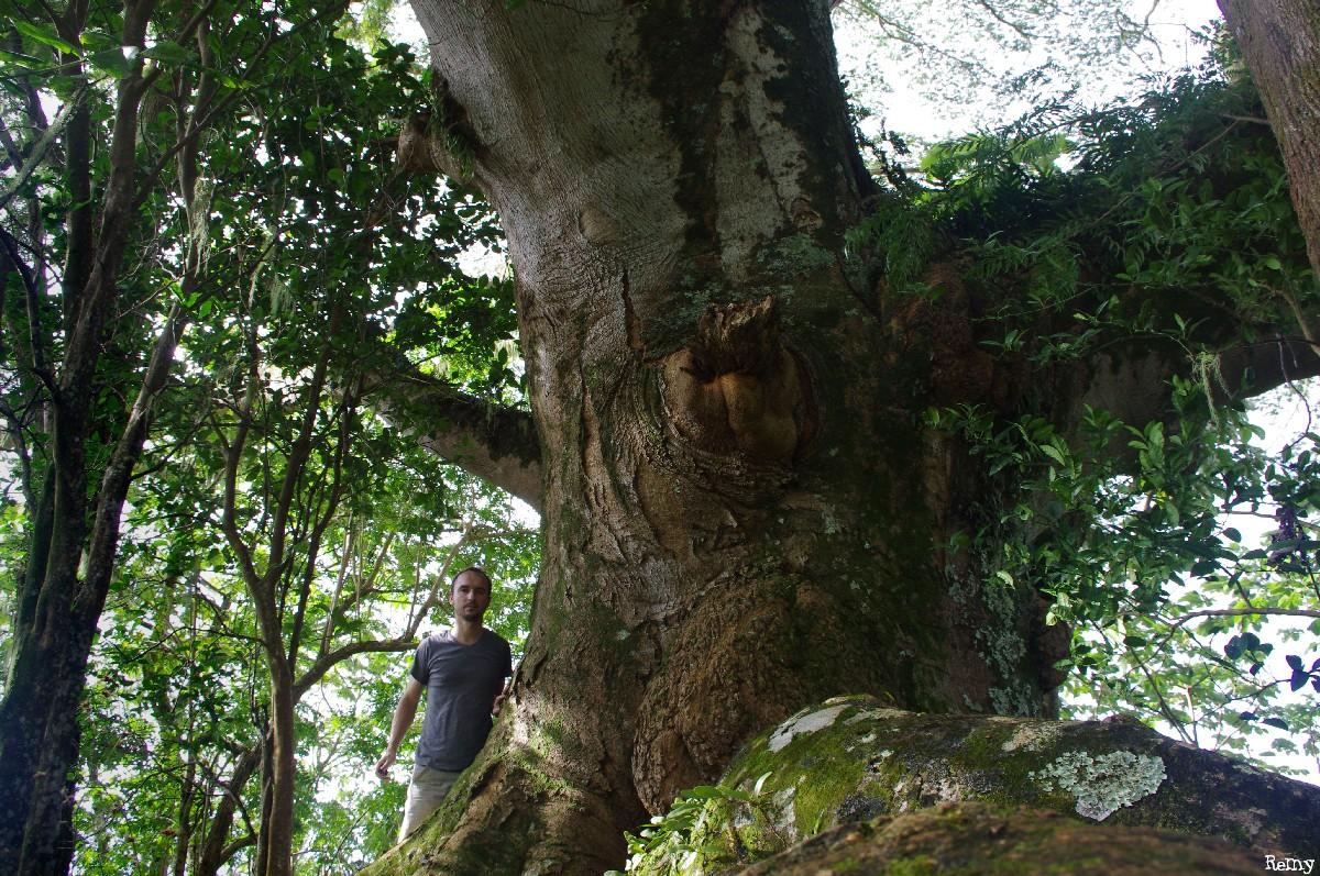 Albizias falcataria du pied de l'Aoraï, Tahiti, Rémy Canavesio (6)