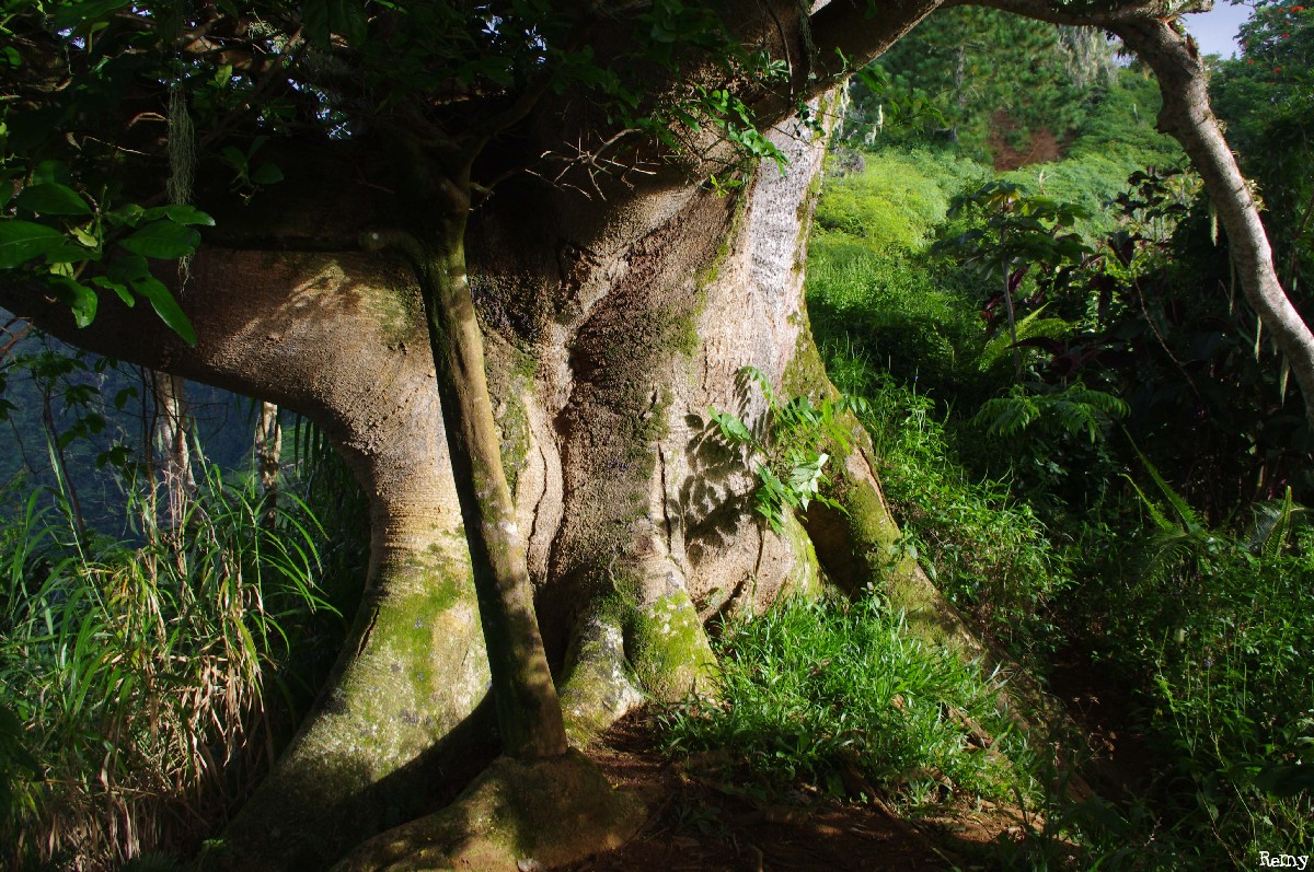 Albizias falcataria du pied de l'Aoraï, Tahiti, Rémy Canavesio (7)