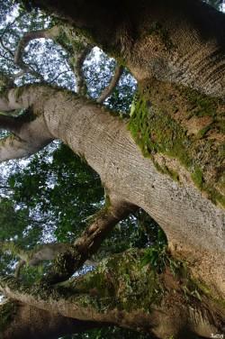 Albizias falcataria du pied de l'Aoraï, Tahiti, Rémy Canavesio (8)