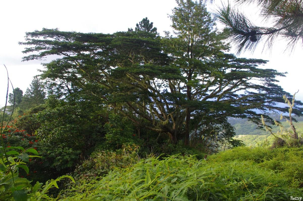 Albizias falcataria du pied de l'Aoraï, Tahiti, Rémy Canavesio (9)