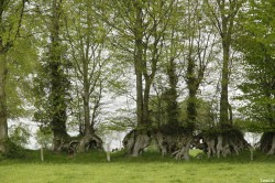 Ancienne haie plesséée entre Mesnil Ciboult et La Lande Patry