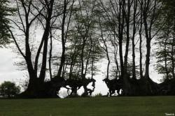 Ancienne haie plessée, les hauts rochers, Saint Clement Rencoudray, Manche