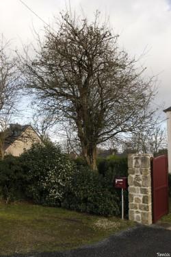 Aubépine monogyne de Pontivy, Morbihan, Yannick Morhan (1)