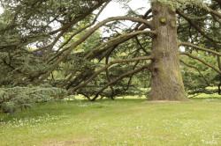 Cèdre de Bayeux, Calvados Yannick Morhan (4)