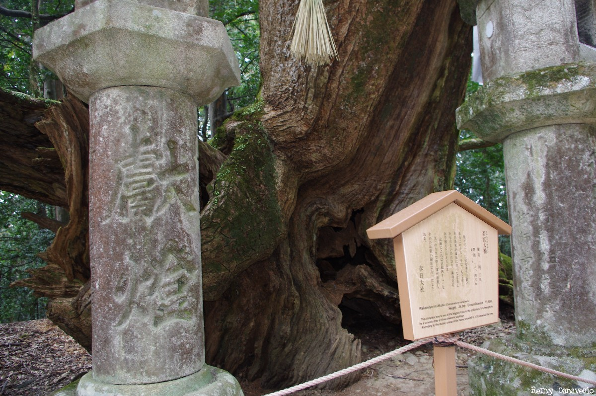 Camphrier de Nara, Japon, Rémy Canvesio (2)