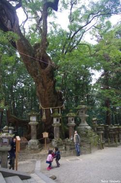 Camphrier de Nara, Japon, Rémy Canvesio (3)