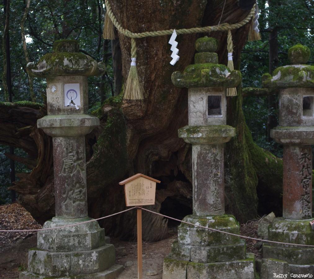 Camphrier de Nara, Japon, Rémy Canvesio (4)