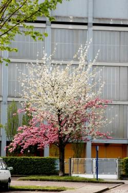 Cerisier Sotteville-lès-Rouen L. Damien (1)
