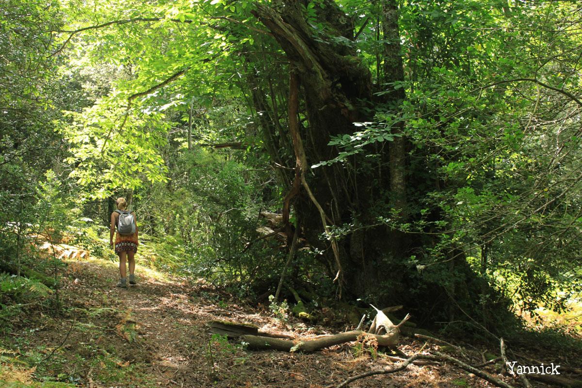 Châtaigniers route Bavella Zonza Yannick Morhan (1)