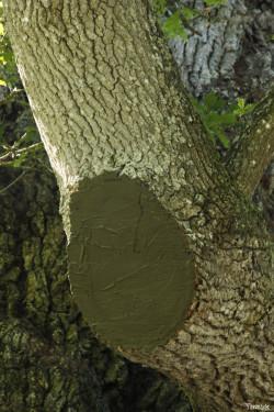 Chêne Guillotin à Concoret Morbihan Yannick Morhan