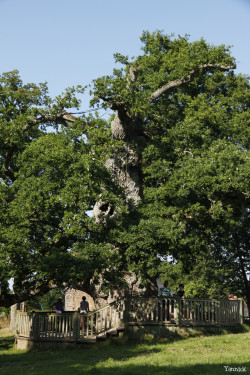 Chêne Guillotin à Concoret Morbihan Yannick Morhan (3)