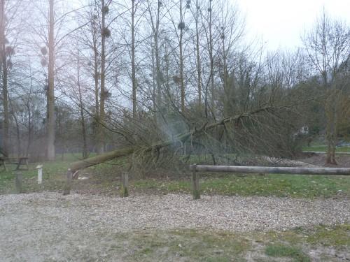 Chêne abattu (3)