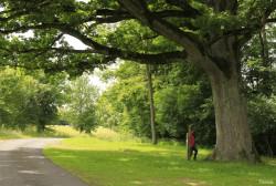 Chêne de Damvillers, Meuse Yannick MORHAN (2)