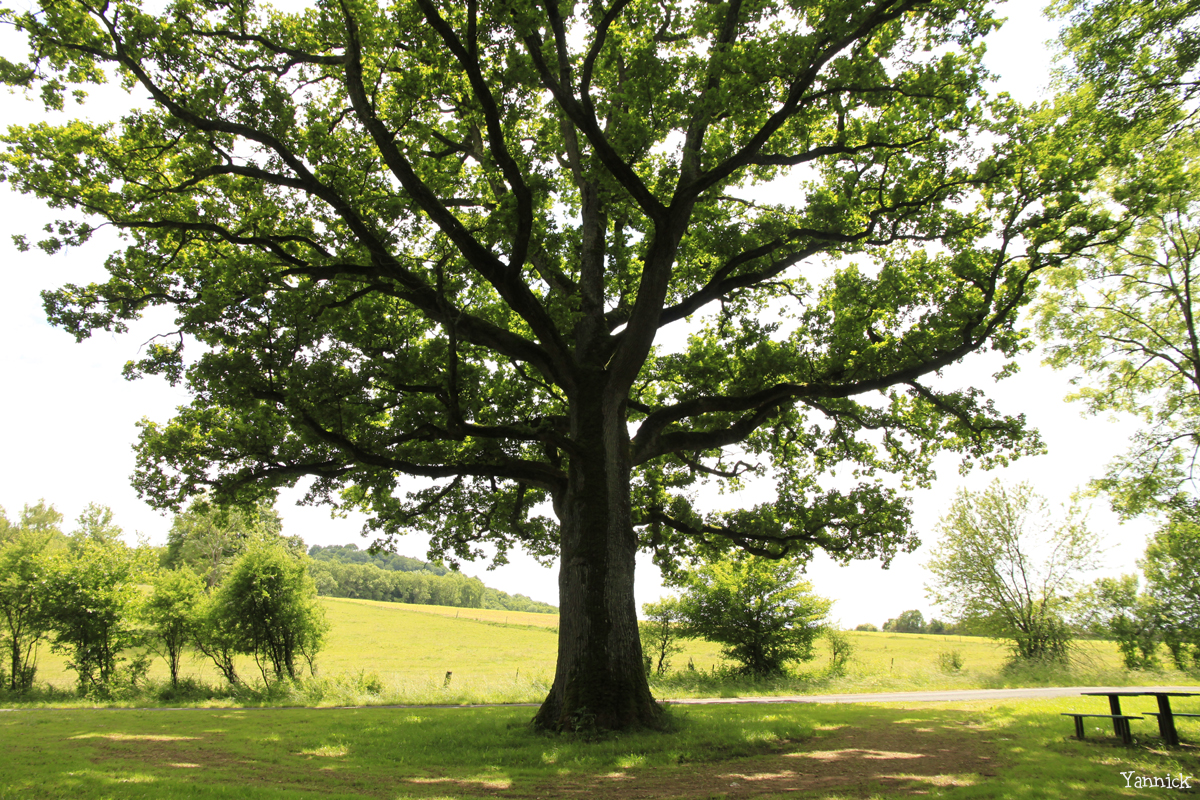 Chêne de Damvillers, Meuse Yannick MORHAN (4)