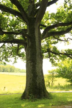 Chêne de Damvillers, Meuse Yannick MORHAN (5)