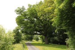 Chêne de Damvillers, Meuse Yannick MORHAN (7)