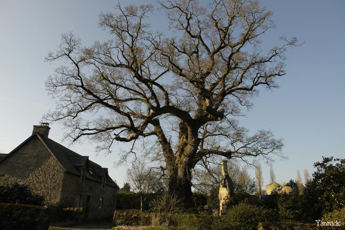Chêne de Kerverne, Lignol, Morbihan Yannick Morhan (10)