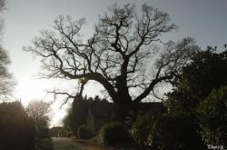 Chêne de Kerverne, Lignol, Morbihan Yannick Morhan (11)