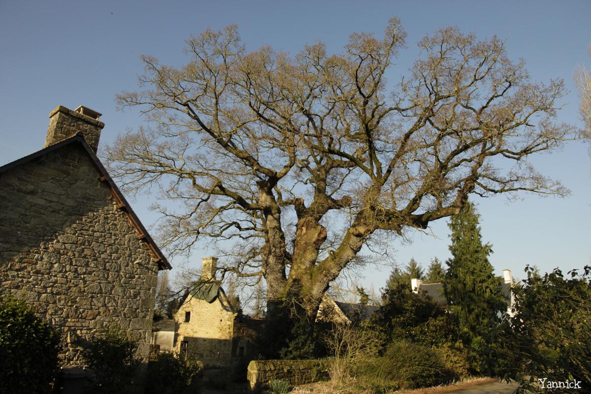 Chêne de Kerverne, Lignol, Morbihan Yannick Morhan (3)