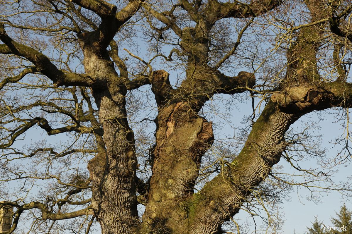 Chêne de Kerverne, Lignol, Morbihan Yannick Morhan (4)