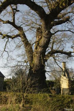 Chêne de Kerverne, Lignol, Morbihan Yannick Morhan (5)