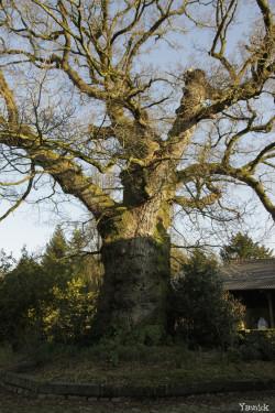 Chêne de Kerverne, Lignol, Morbihan Yannick Morhan (6)