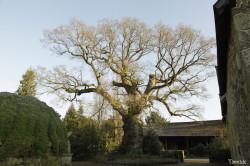 Chêne de Kerverne, Lignol, Morbihan Yannick Morhan (8)