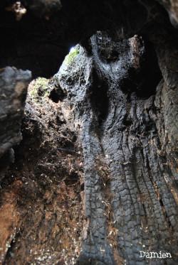 Chêne de Saint Rémy, Calvados, Damien Levillain (1)
