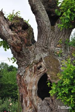 Chêne de Saint Rémy, Calvados, Damien Levillain (2)