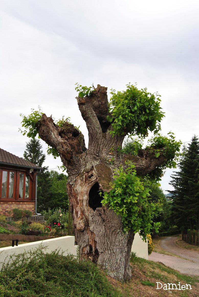 Chêne de Saint Rémy, Calvados, Damien Levillain (3)