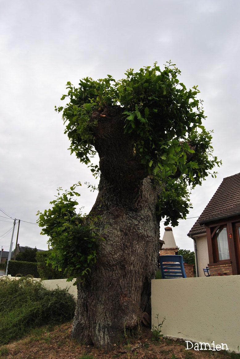 Chêne de Saint Rémy, Calvados, Damien Levillain