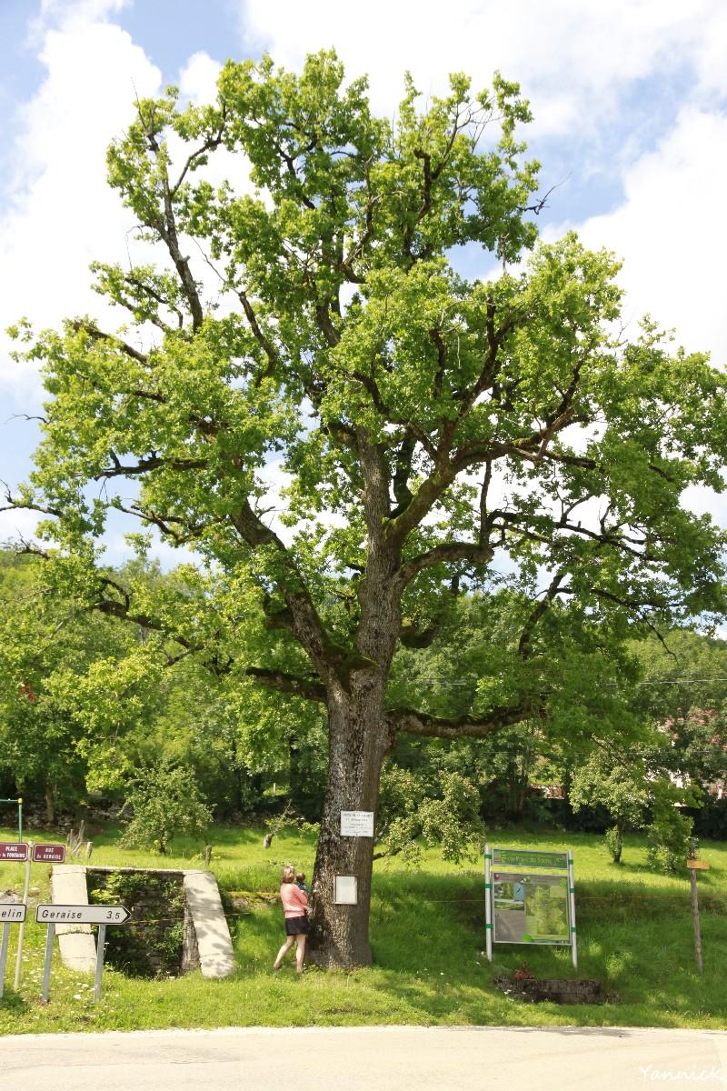 Chêne-de-la-Liberté-Clucy-Jura-Yannick-Morhan-10