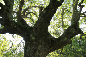 Chêne de la forêt de Sare Yannick1