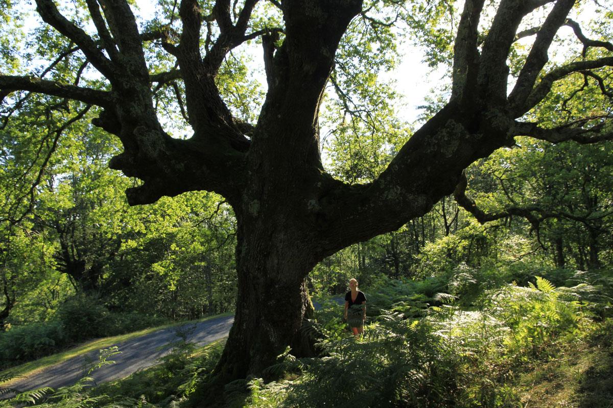Chêne de la forêt de Sare Yannick3