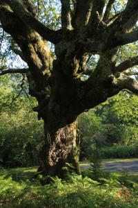 Chêne de la forêt de Sare Yannick4