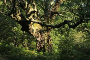 Chêne de la forêt de Sare Yannick5