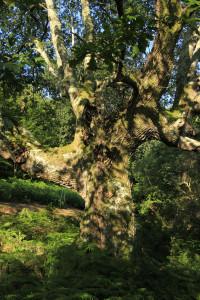 Chêne de la forêt de Sare Yannick6