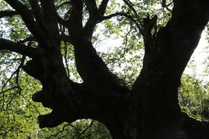 Chêne de la forêt de Sare Yannick7