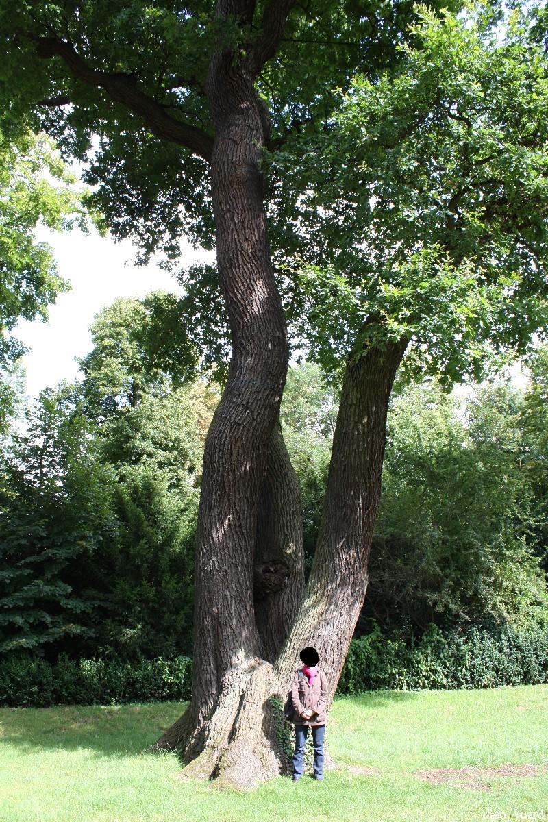 Chêne du domaine royal de Saint-Germain en Laye, Yvelines Jean Luard (3)