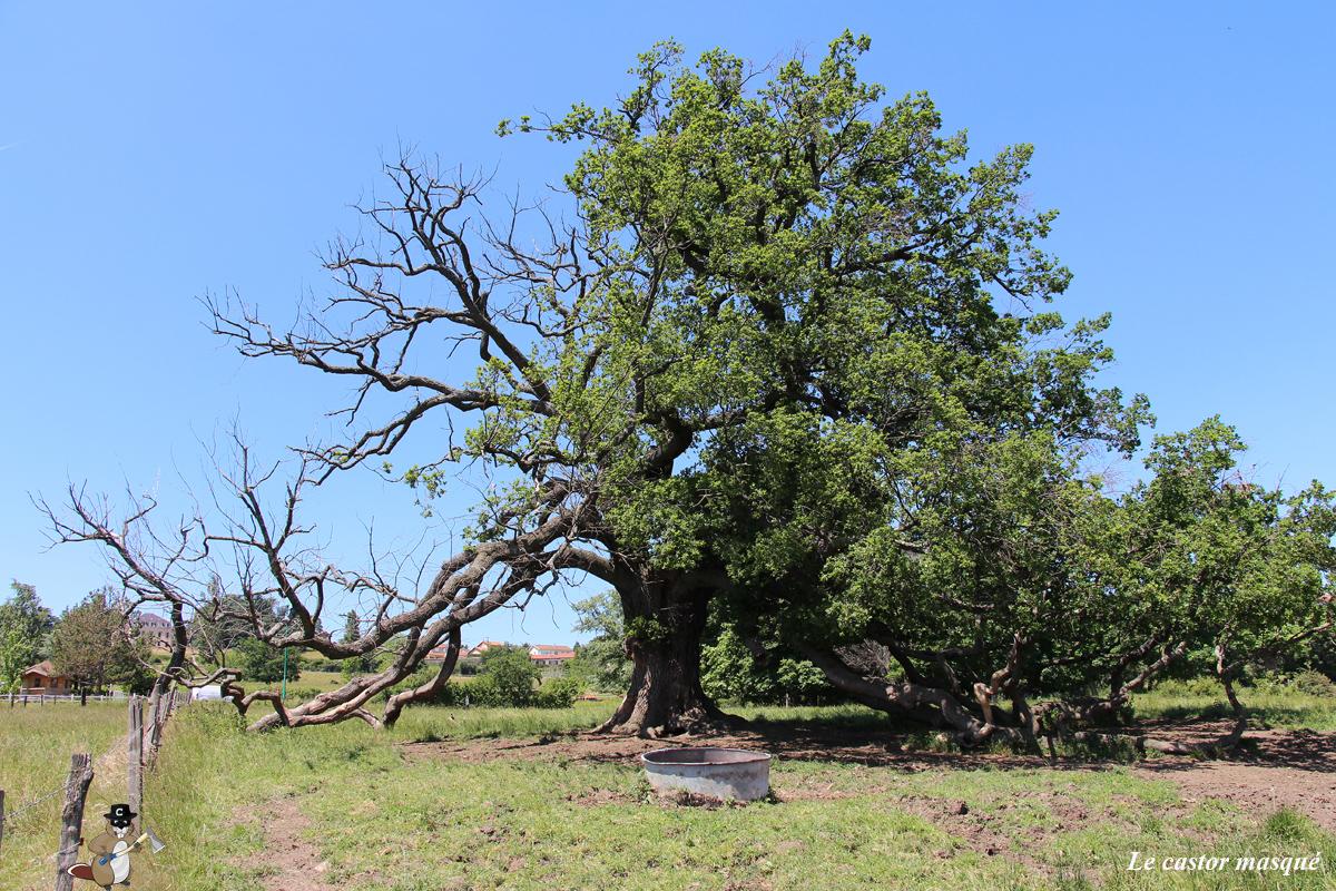 Chêne-pédonculé-st-maurice-sur-dargoire2015-1