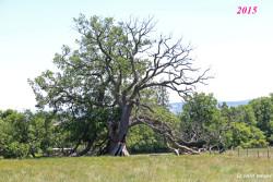 Chêne-pédonculé-st-maurice-sur-dargoire2015-2