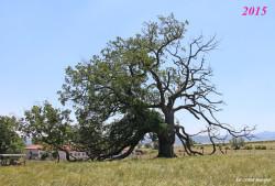 Chêne-pédonculé-st-maurice-sur-dargoire2015-3