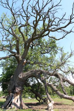 Chêne-pédonculé-st-maurice-sur-dargoire2015-4