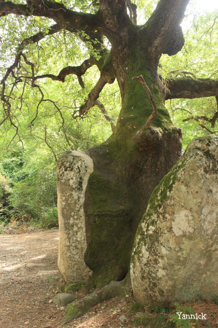 Chêne pubescent du col de Bavella Yannick (1)